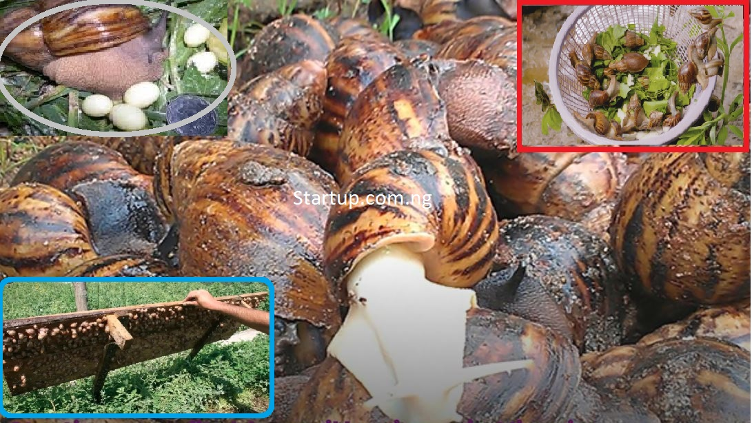 How to start a profitable snail farming business in Nigeria