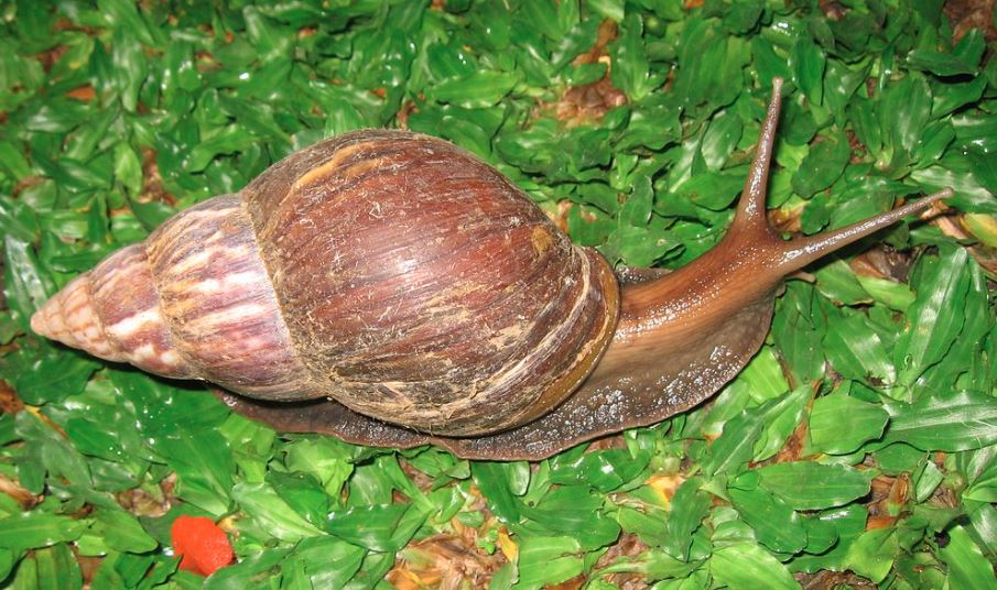 achatina fulica How to Start a Profitable Snail Farming Business in Nigeria this 2021