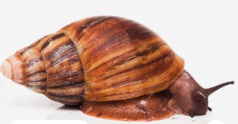Archachitina Marginata Snail business guide