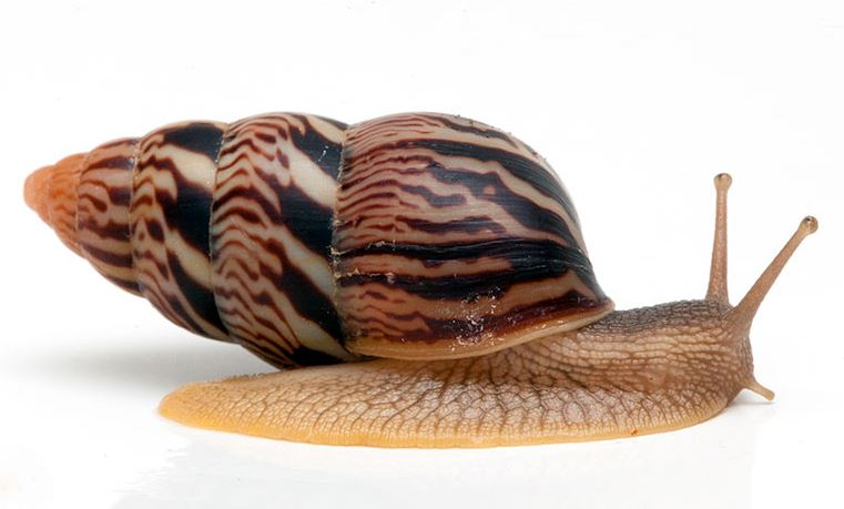 limicorea How to Start a Profitable Snail Farming Business in Nigeria this 2021