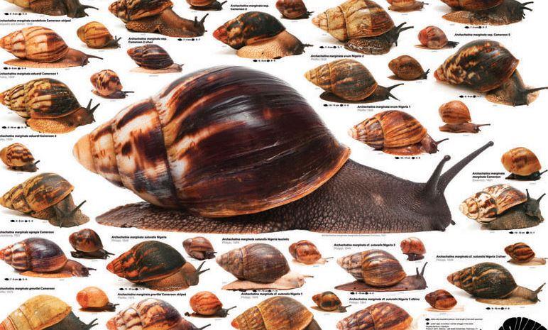 Snail species